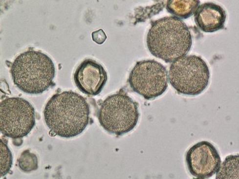 pollen_0