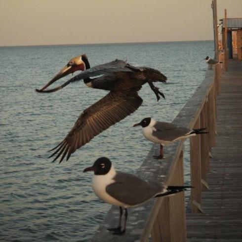 pelican-712x1024
