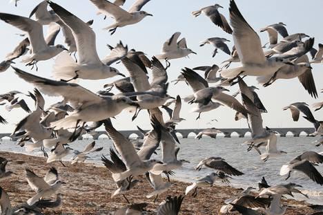 seagull-flock-jj